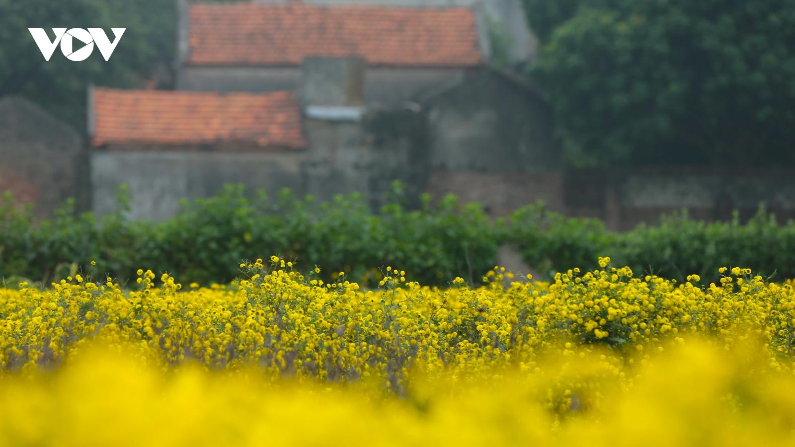 Ngắm cánh đồng hoa cúc tiến vua vàng rực ven sông Hồng