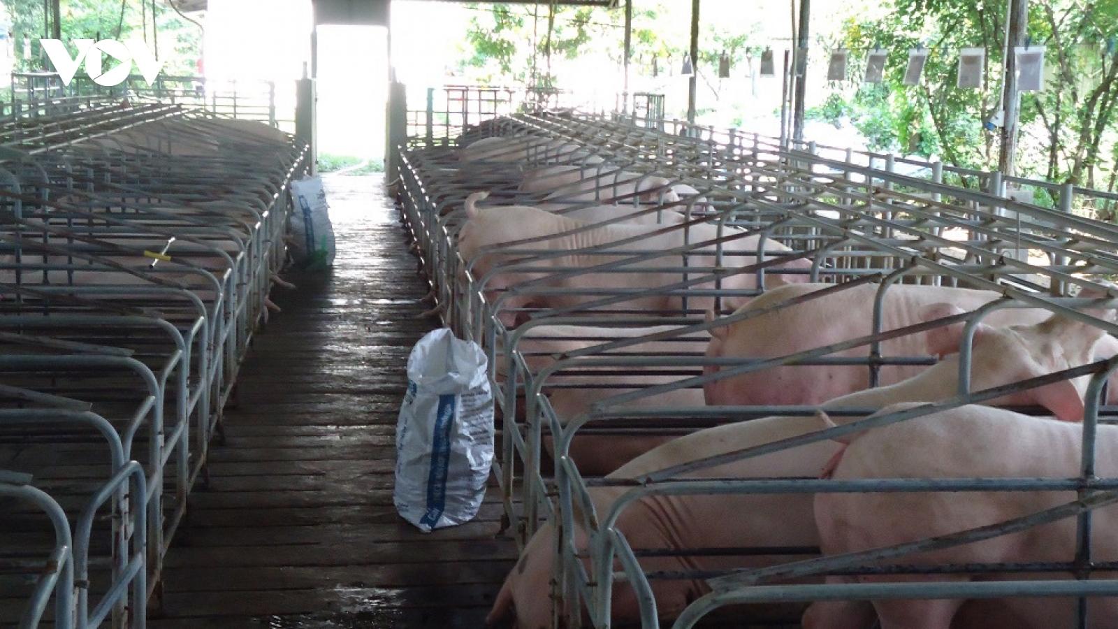 Tái đàn chậm, nguy cơ nguồn cung thịt lợn sẽ giảm dịp Tết