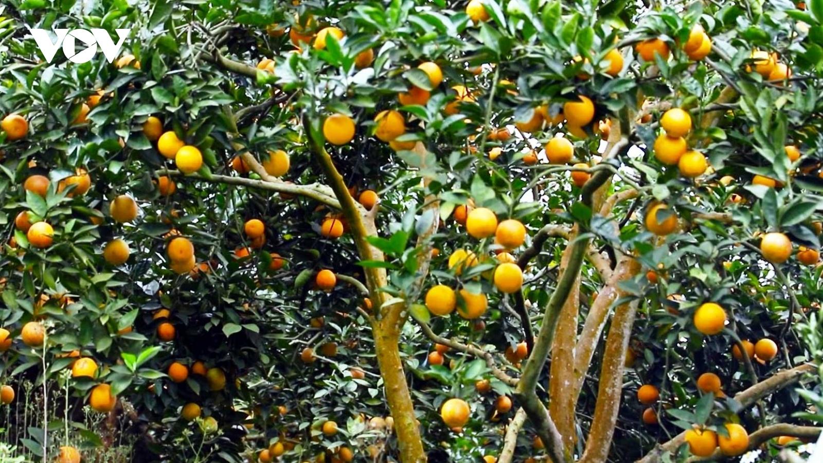 """Nhà vườn Văn Chấn lại """"khóc dở, mếu dở"""" trước mùa cam trĩu quả"""