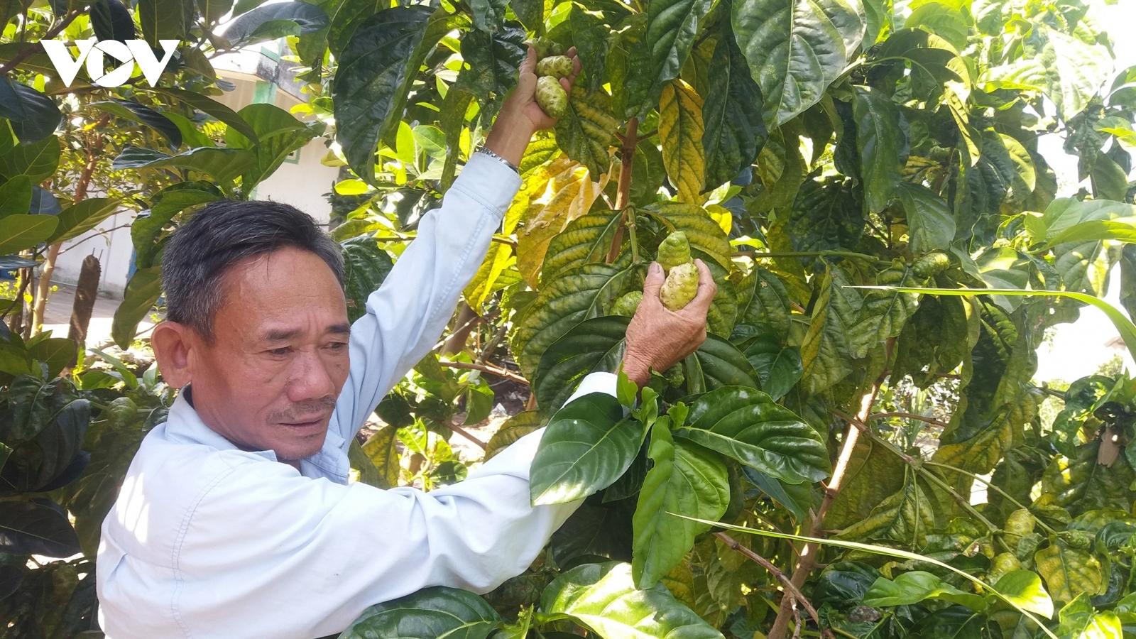 Nông dân Tiền Giang đốn bỏ cây nhàu do không có đầu ra