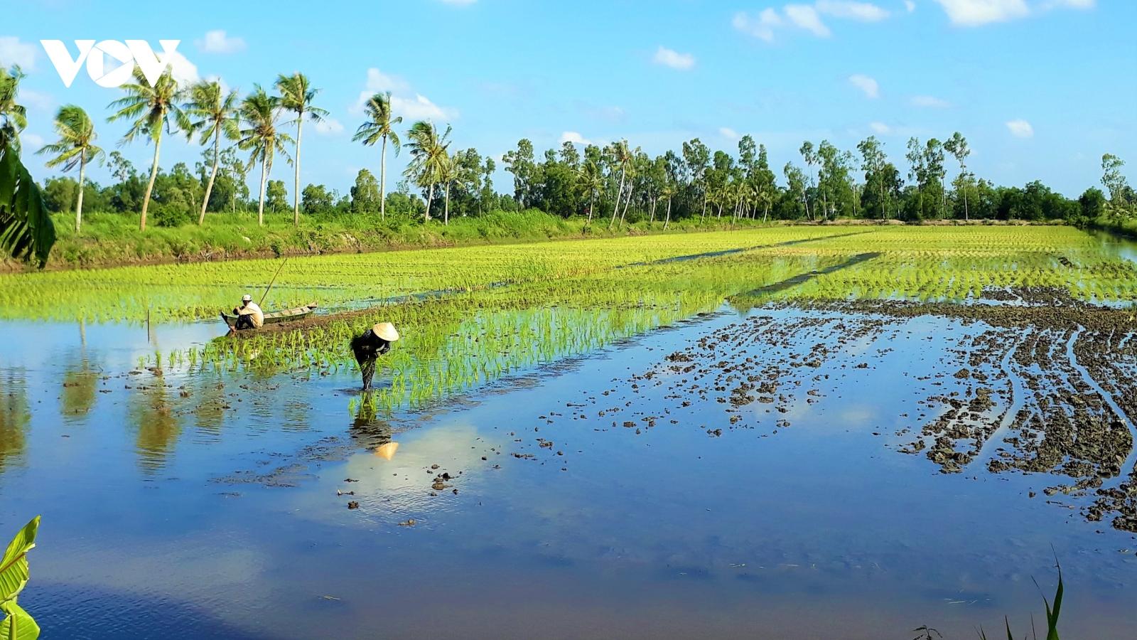 Trồng lúa sạch trên đất nuôi tôm giúp mang lại hiệu quả kinh tế cao