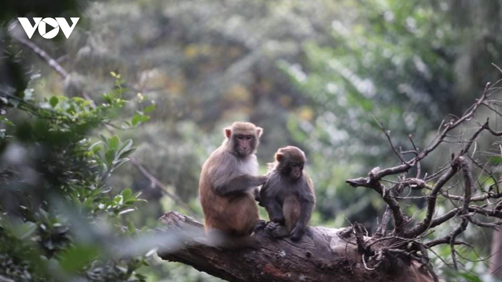 """Theo chân """"chúa đảo"""" thăm đàn khỉ vàng phục vụ nghiên cứu vaccine"""