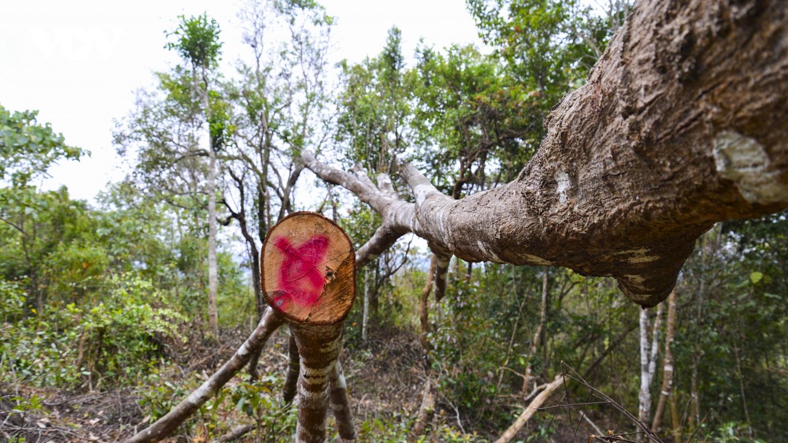Bước đầu phát hiện hơn 170 cây gỗ bị chặt trong rừng đặc dụng Mường Phăng