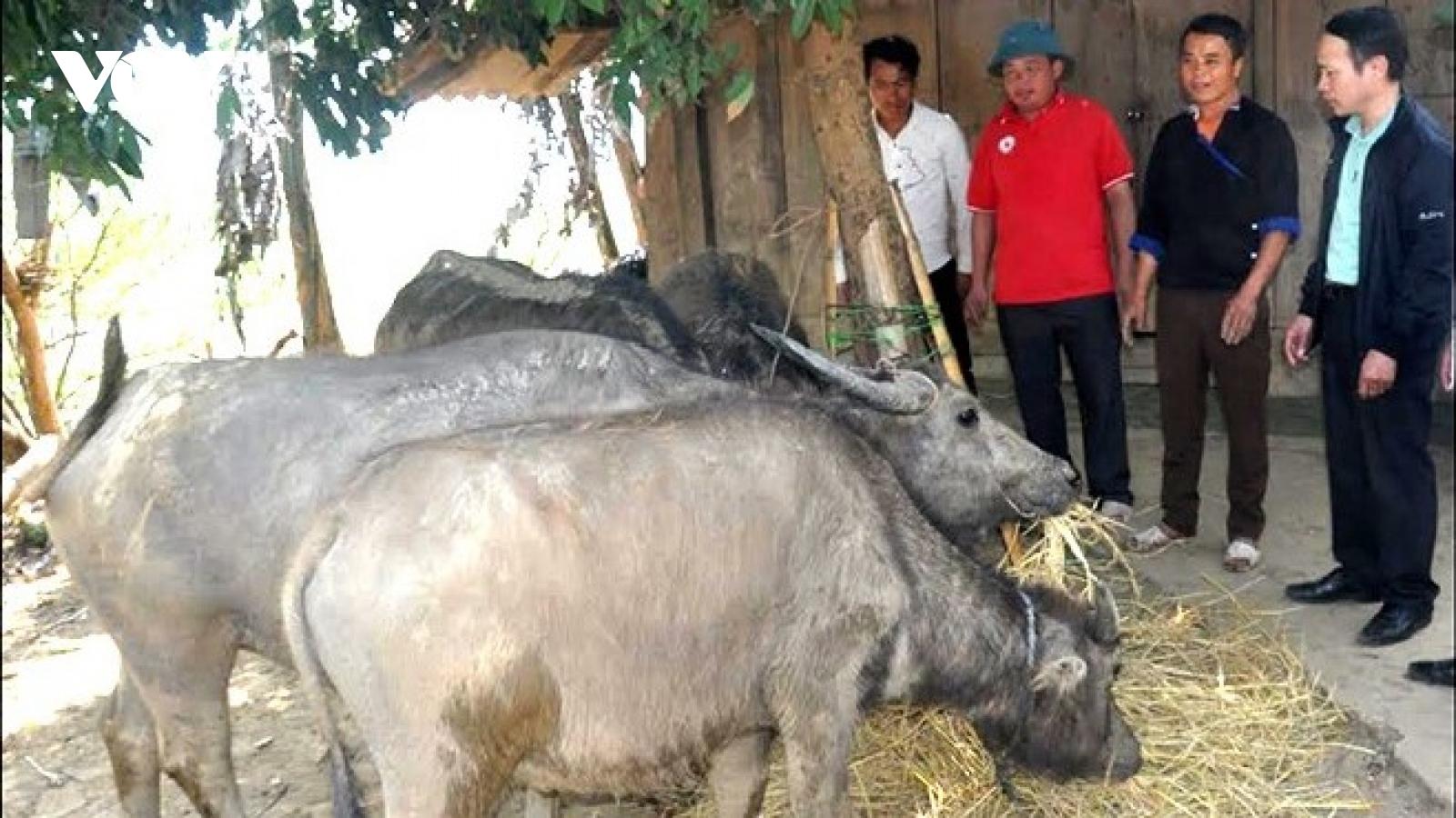 Gần 200 con gia súc ở Mù Cang Chải mắc bệnh lở mồm long móng