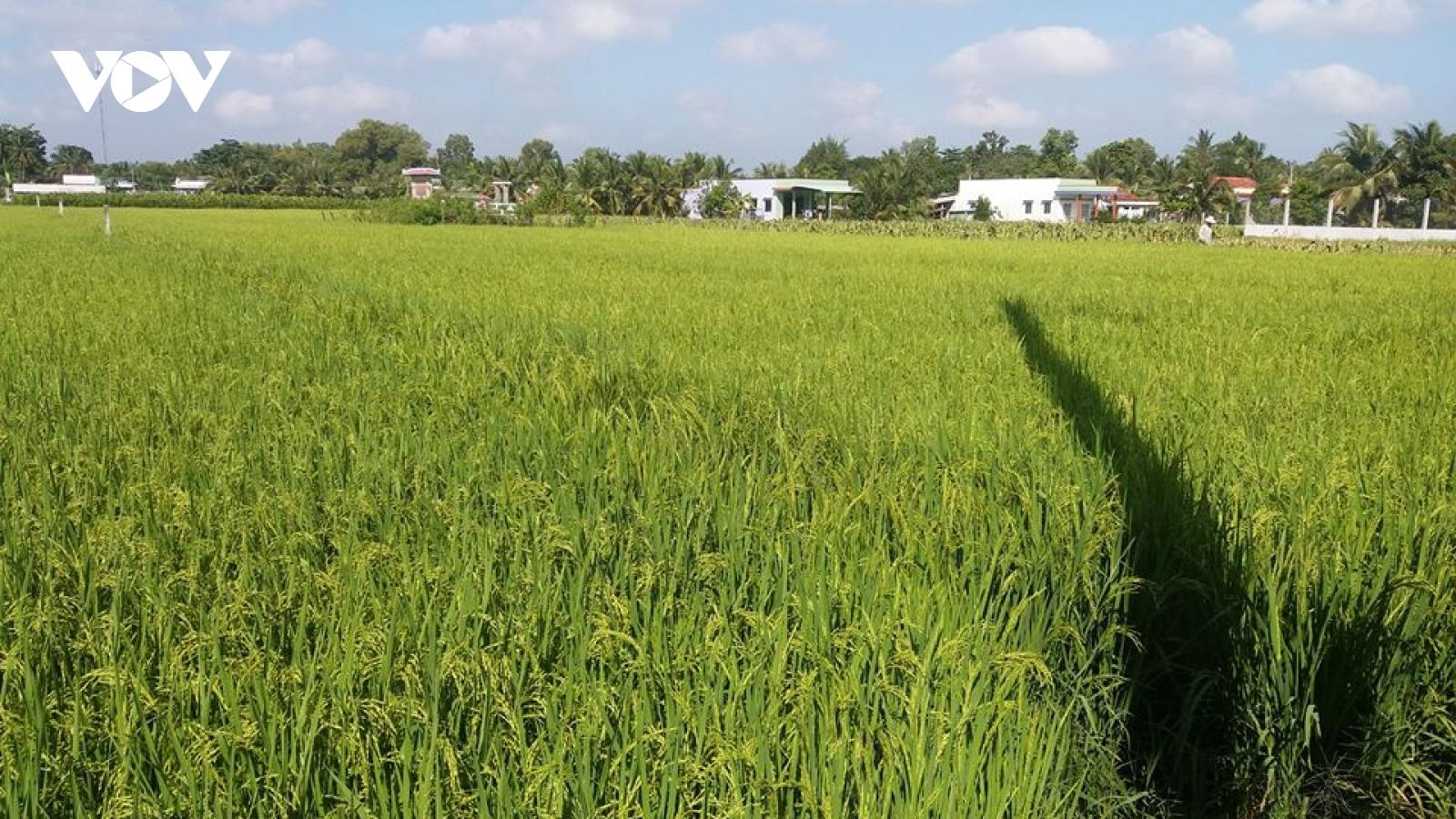 Mô hình sản xuất lúa ứng dụng công nghệ cao mang lại lợi nhuận mỗi vụ gần 20 triệu đồng/ha