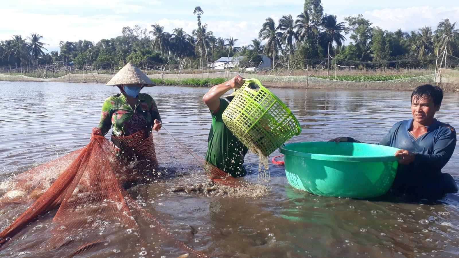 Kiếm thu nhập khá từ nuôi cá trong ruộng lúa
