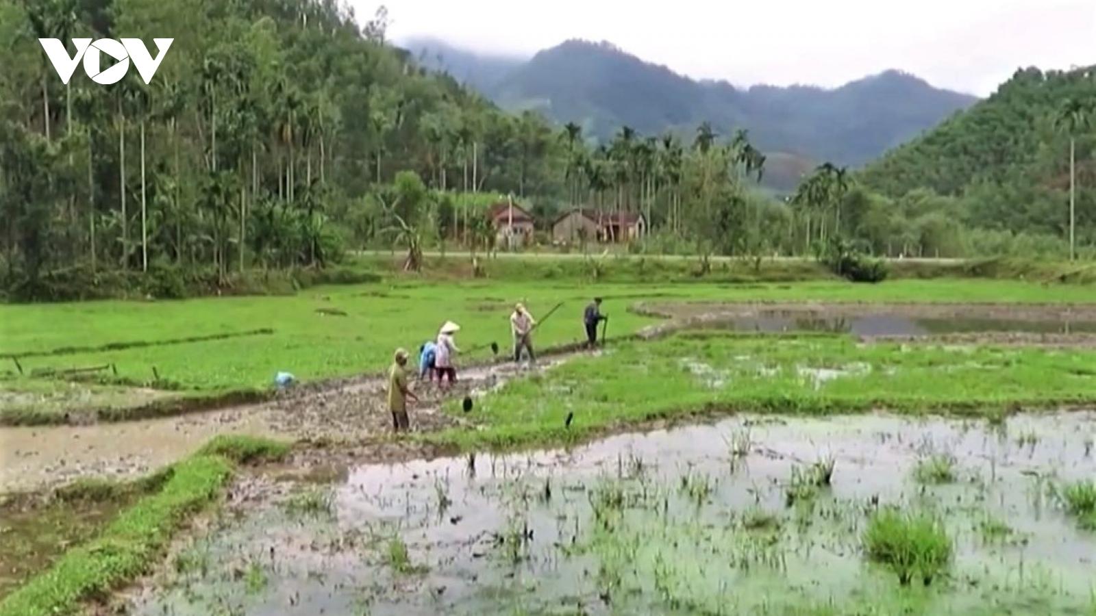 Quảng Ngãi tập trung khắc phục hậu quả mưa lũ, khôi phục sản xuất nông nghiệp