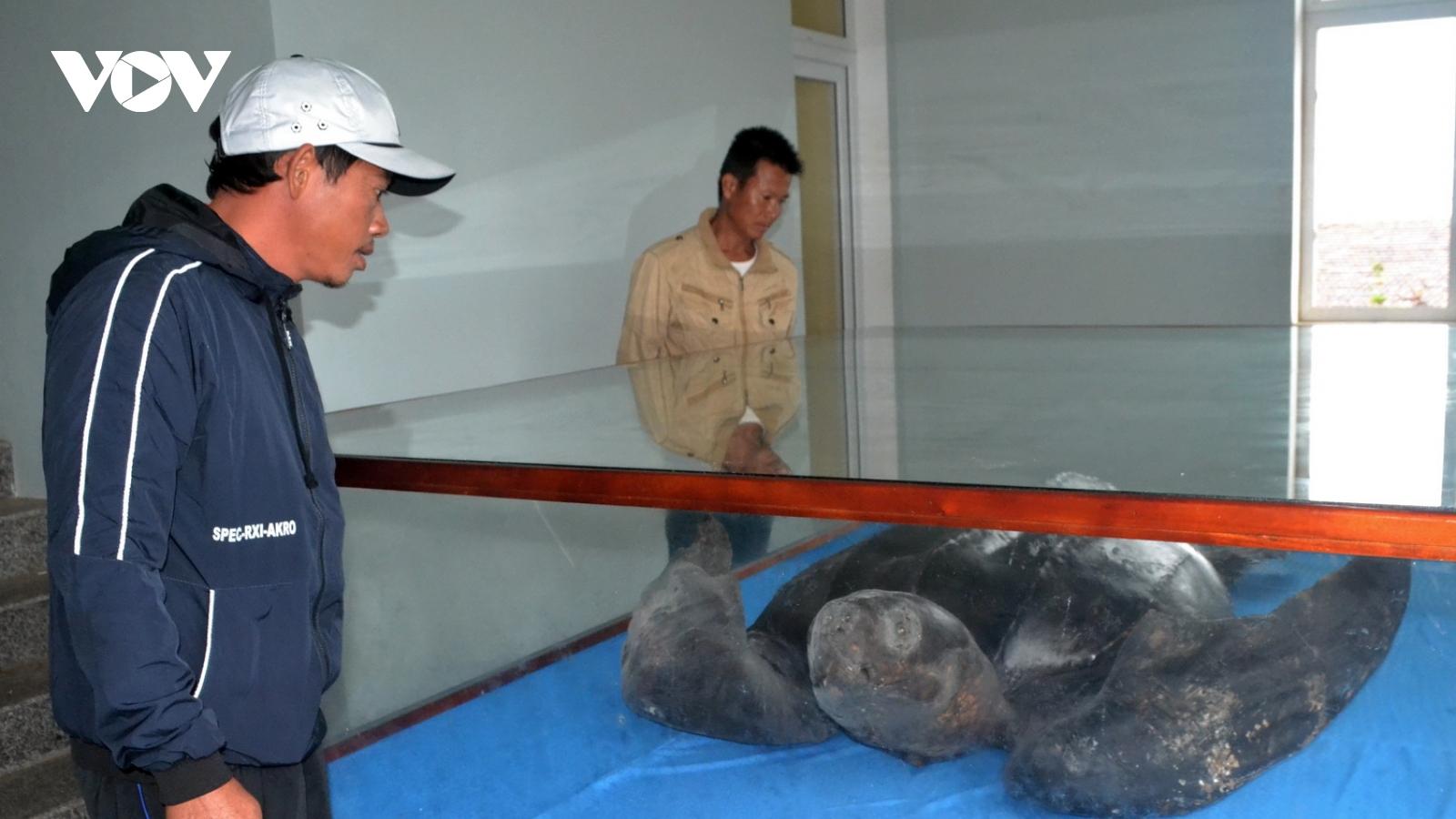 Tiêu bản rùa da quý hiếm ở Lý Sơn chưa có nơi trưng bày