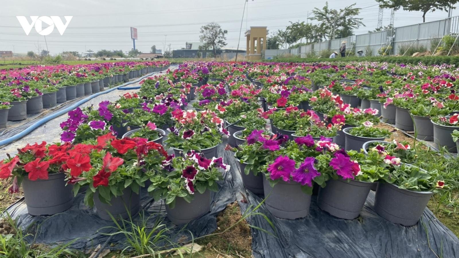 Người trồng hoa làng Kim Dinh thu hàng trăm triệu đồng dịp Tết
