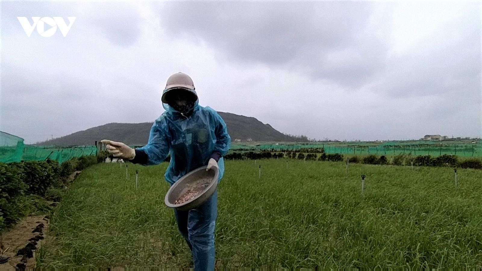 Người trồng tỏi Lý Sơn đứng ngồi không yên vì giá lạnh
