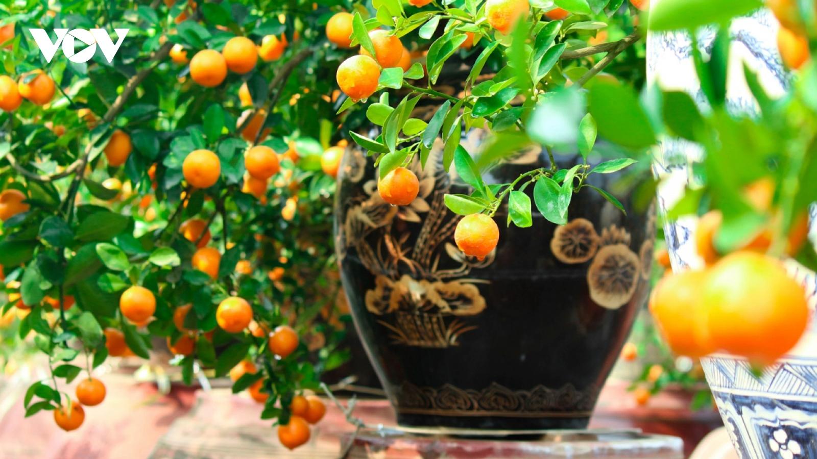 Tu Lien kumquat village prepares for Tet holiday