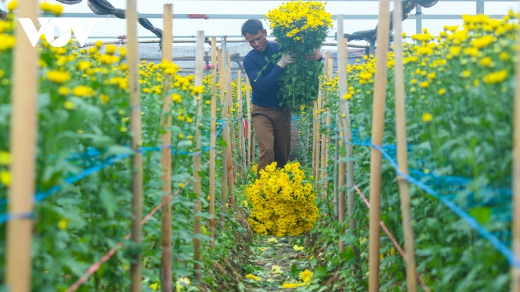 Preparations underway at Tay Tuu flower village ahead of Tet