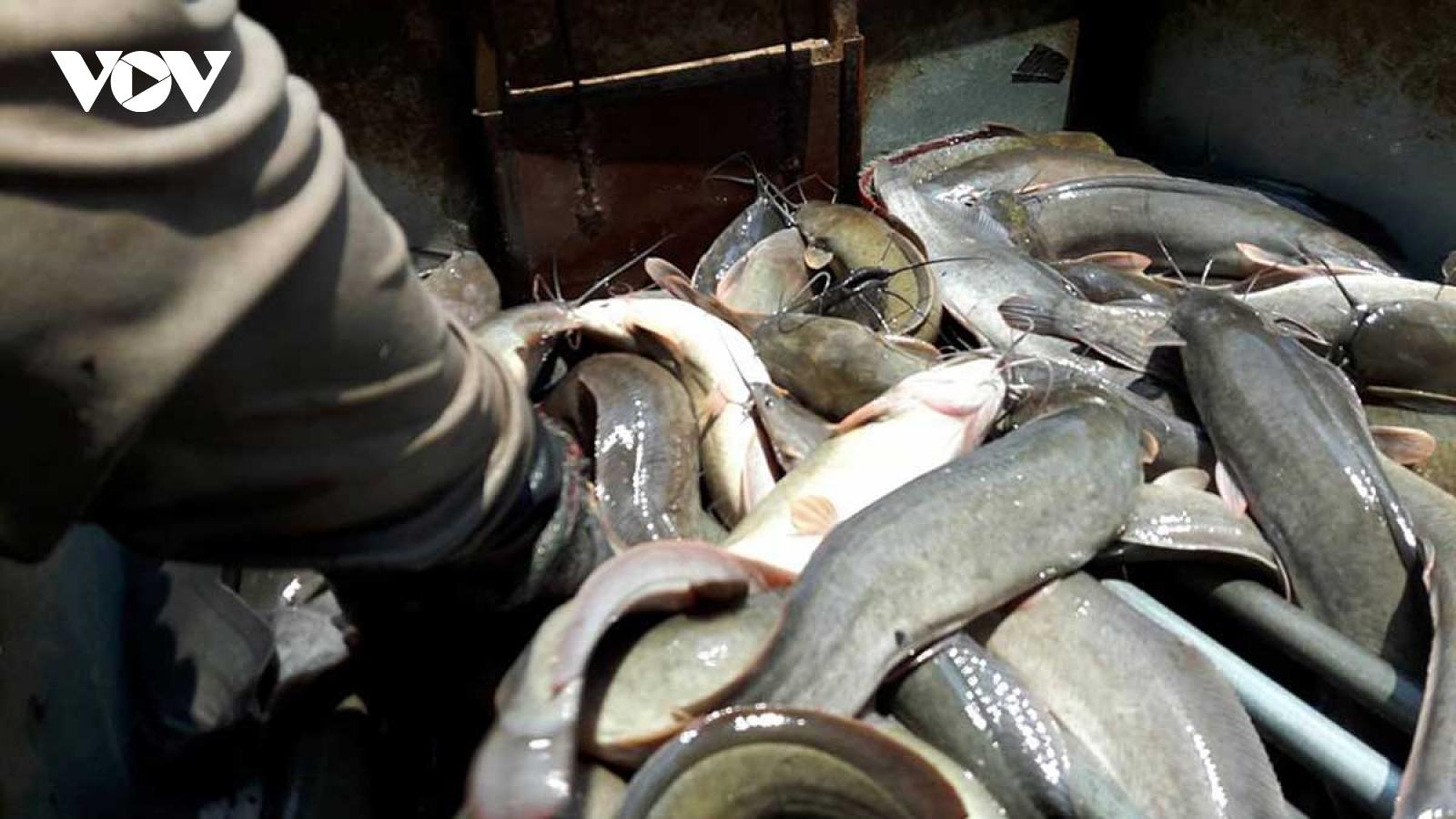 Campuchia tạm cấm nhập khẩu cá nuôi từ nước ngoài