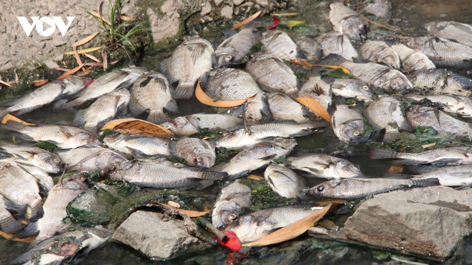 Cá chết từ hồ theo nước tràn ra kênh ở Bình Dương