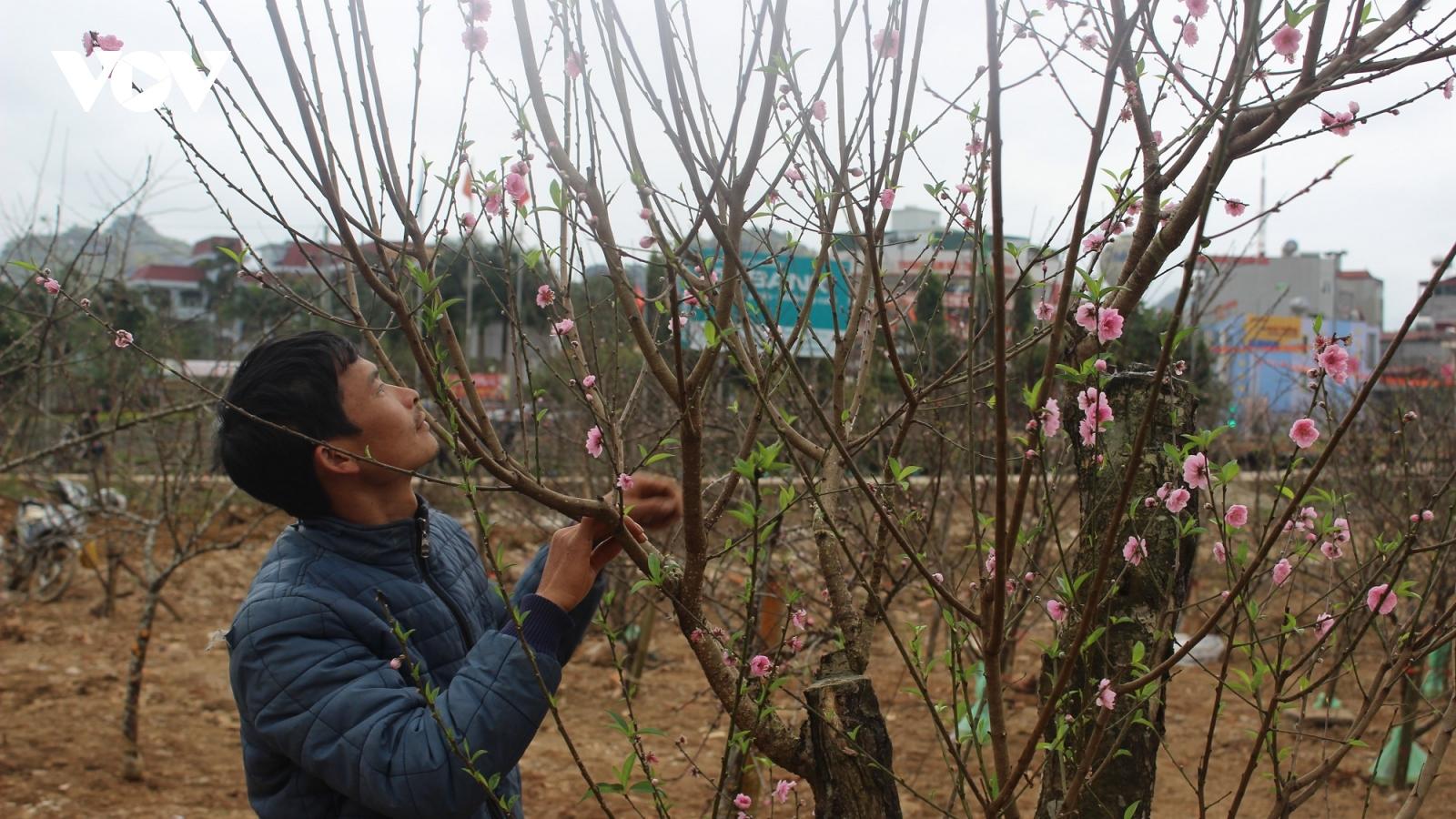 Sơn La đã thật sự tạo điều kiện thuận lợi cho người dân buôn bán đào trồng?