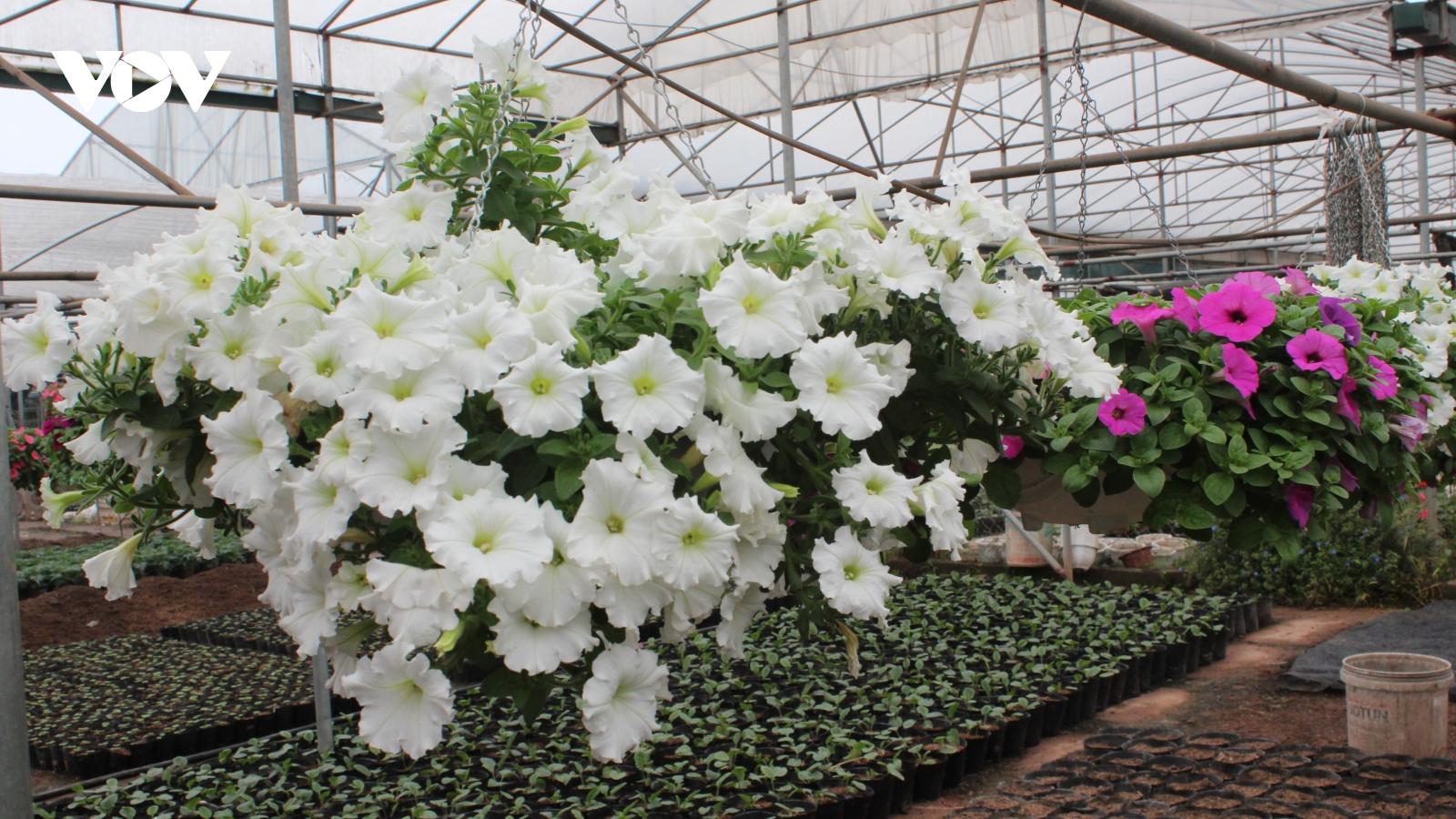 Hoa Tết ở Xuân Quan rực rỡ, nhiều loại có giá cả chục triệu đồng