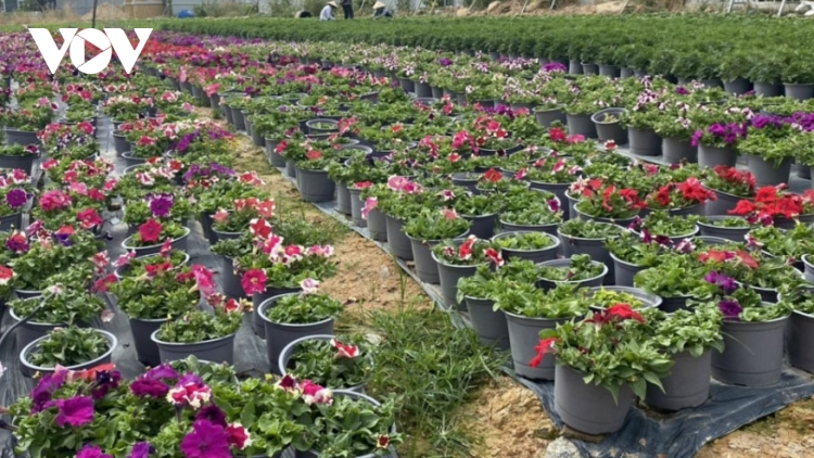 Flower farmers in Kim Dinh village hard at work ahead of Tet