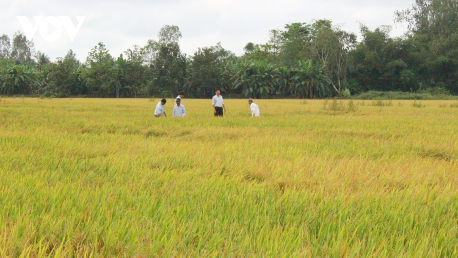 Liên kết để tạo ra ngành hàng lúa gạo chất lượng