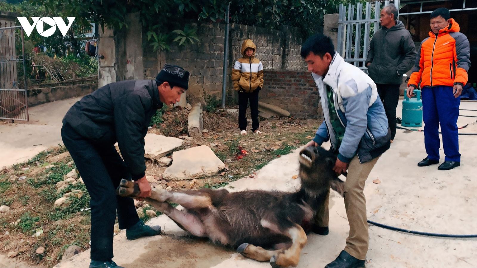 Rét đậm, rét hại khiến nhiều trâu bò ở Điện Biên bị chết rét