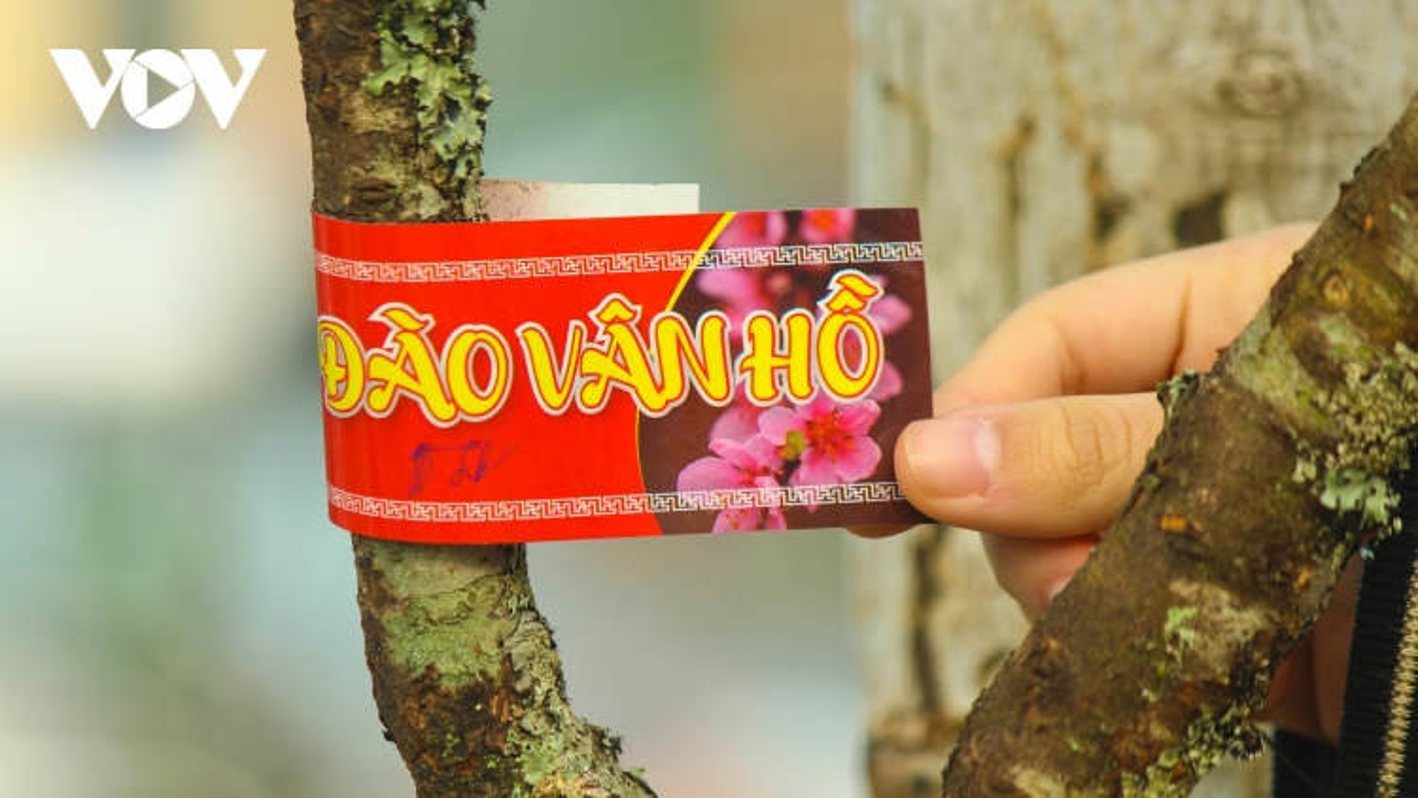 Đào Sơn La được dán tem bày bán trên phố Hà Nội, người mua phấn khởi