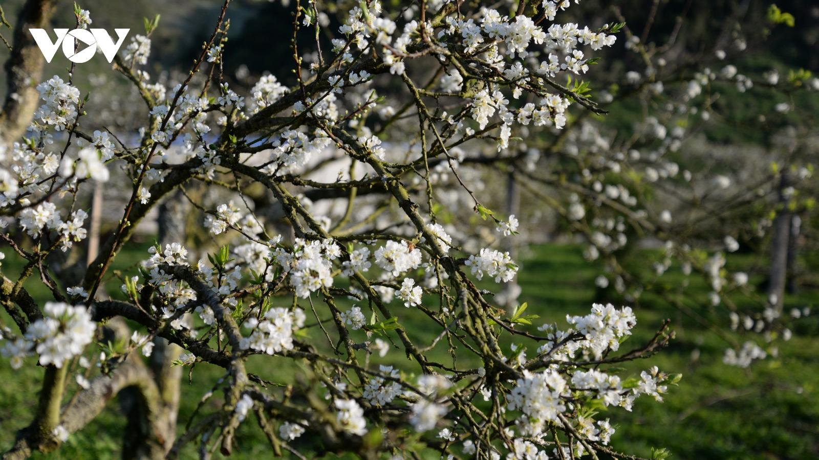 Xuân về, mận nở bung trắng sườn đồi