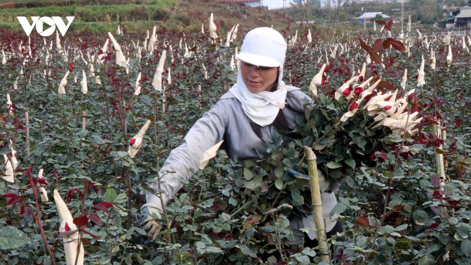 Mỗi hecta cho doanh thu tiền tỷ, người trồng hoa San Thàng vui đón Tết