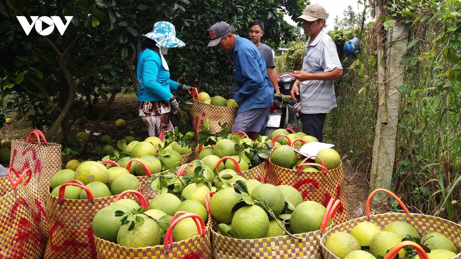 Nhà vườn Tiền Giang đưa hơn 75.000 tấn trái vào thị trường Tết