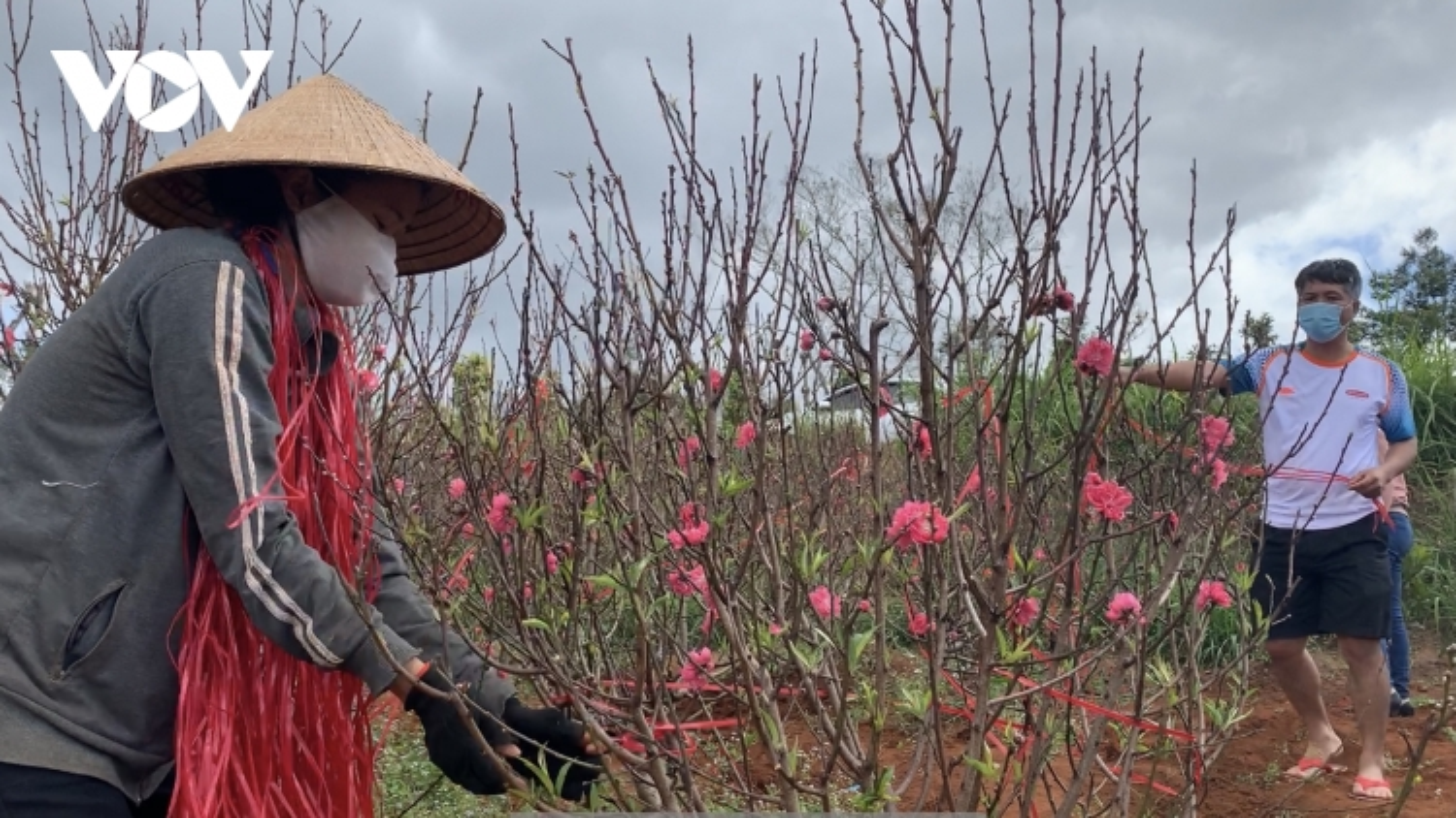 Hoa đào đất đỏ Tây Nguyên hút khách