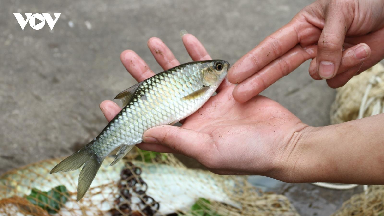 Tìm hiểu cách chế biến đặc sản cá Bỗng ngày Tết ở Lục Yên, Yên Bái