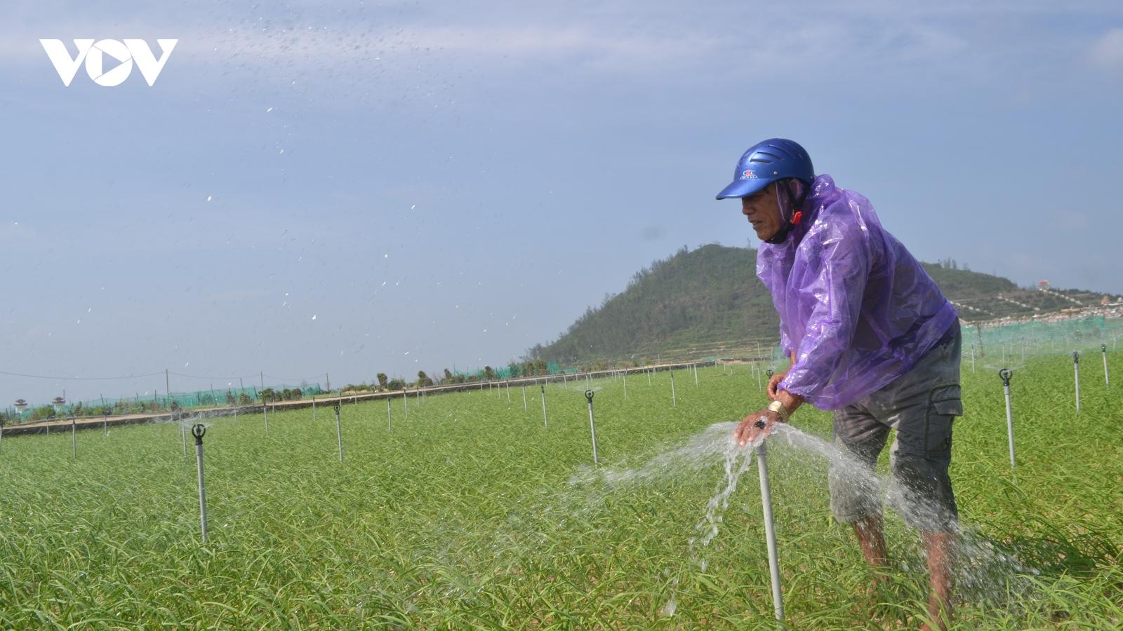 Hơn 11 tỷ đồng sản xuất tỏi Lý Sơn theo hướng VietGAP