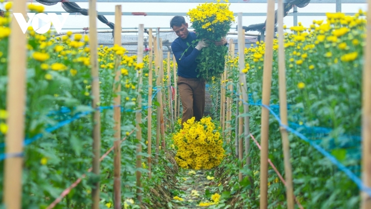 Hanoi flower growers cry out as Tet draws near