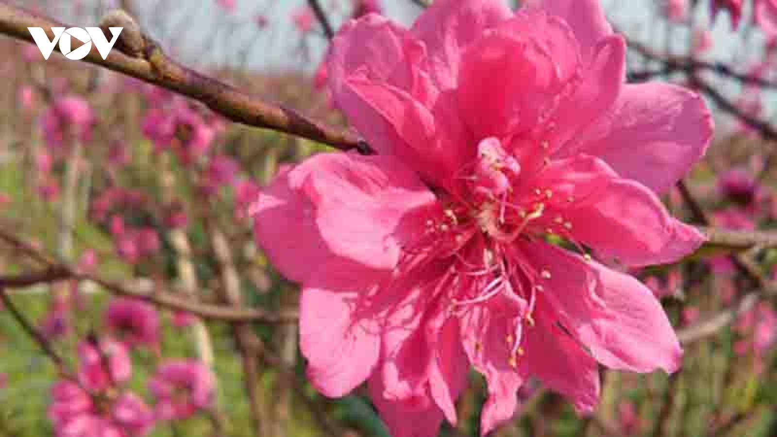 Nhat Tan peach blossoms in full bloom ahead of Tet