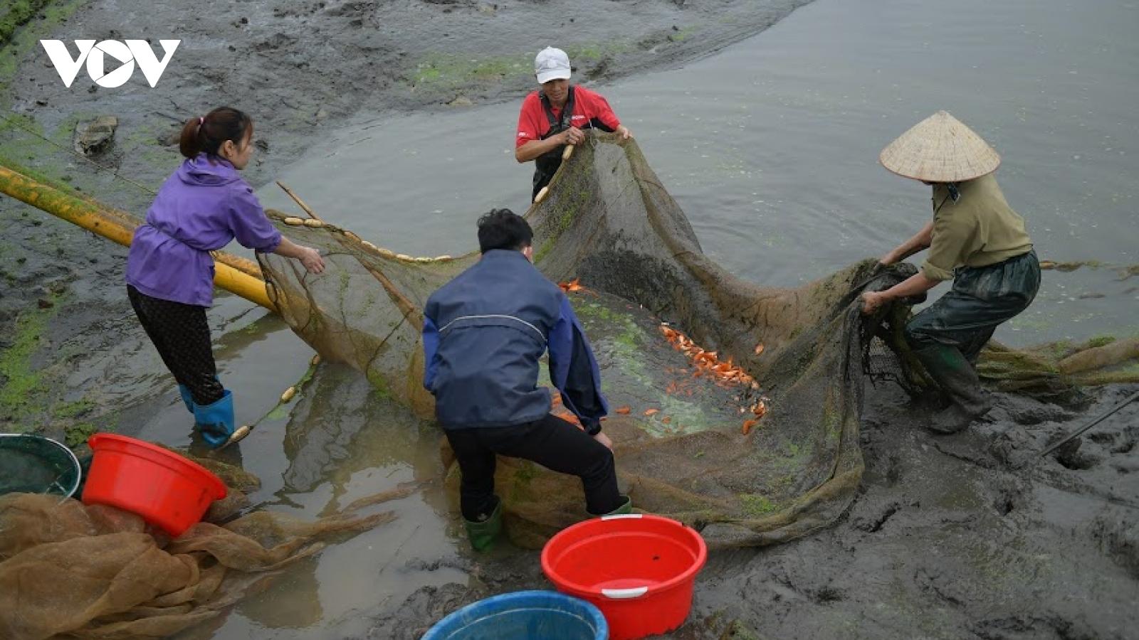 Làng nuôi cá chép đỏ Thủy Trầm ra sao trong mùa Táo về trời thời Covid 19?