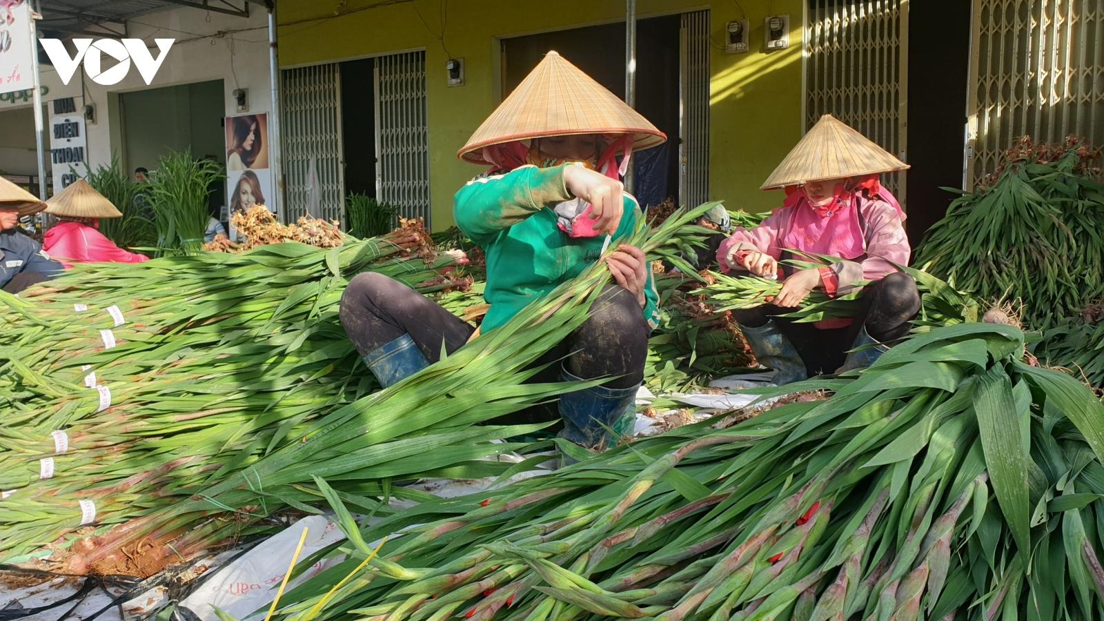 Giá rẻ không ai mua, người trồng hoa lay ơn Lâm Đồng lao đao