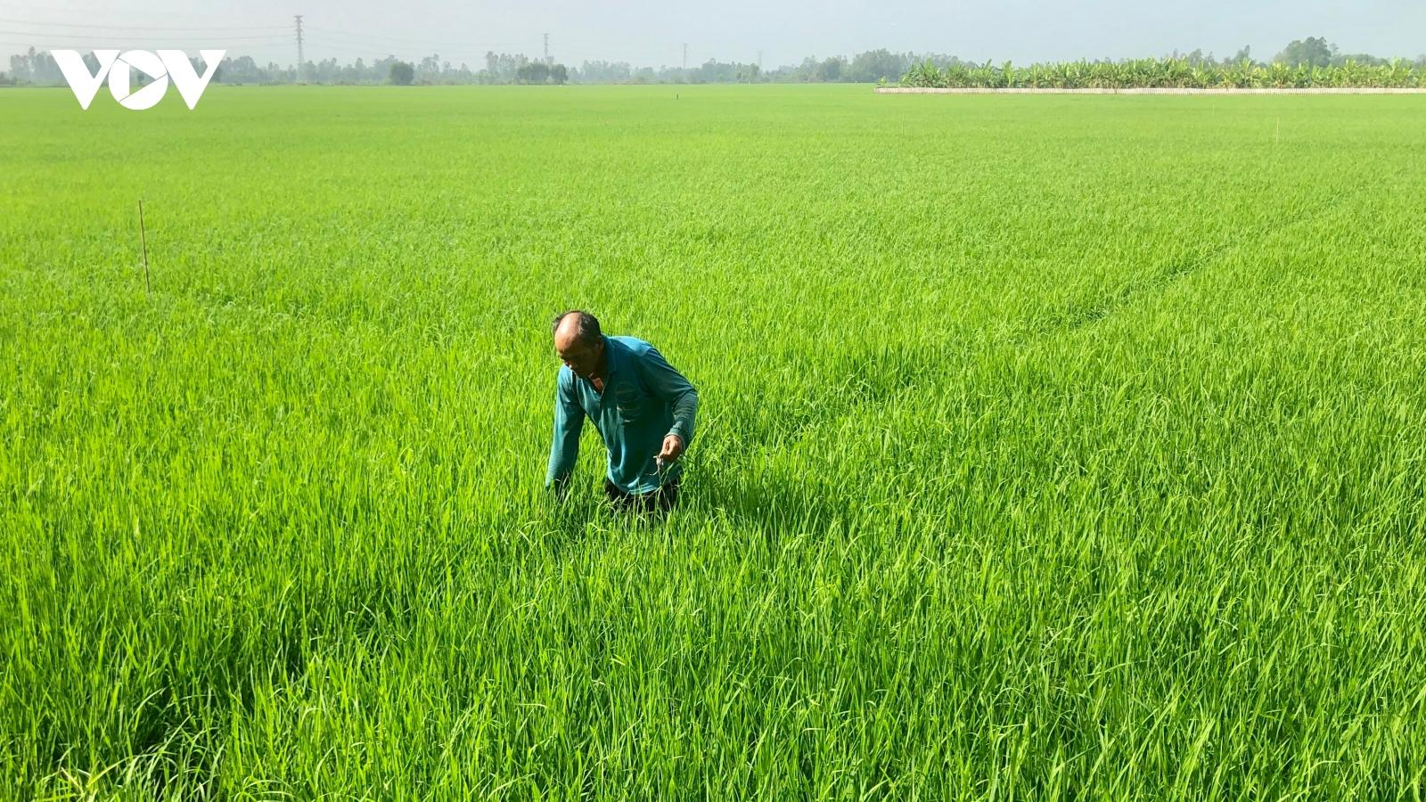 Đầu năm, thương lái đến tận ruộng đặt cọc mua lúa với giá cao