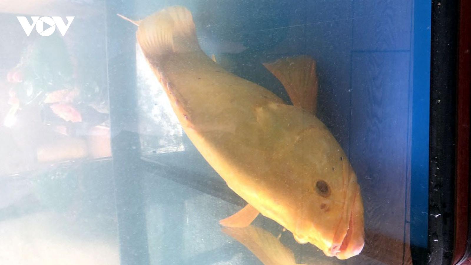 Cá mú toàn thân vàng óng được trả giá 200 triệu đồng