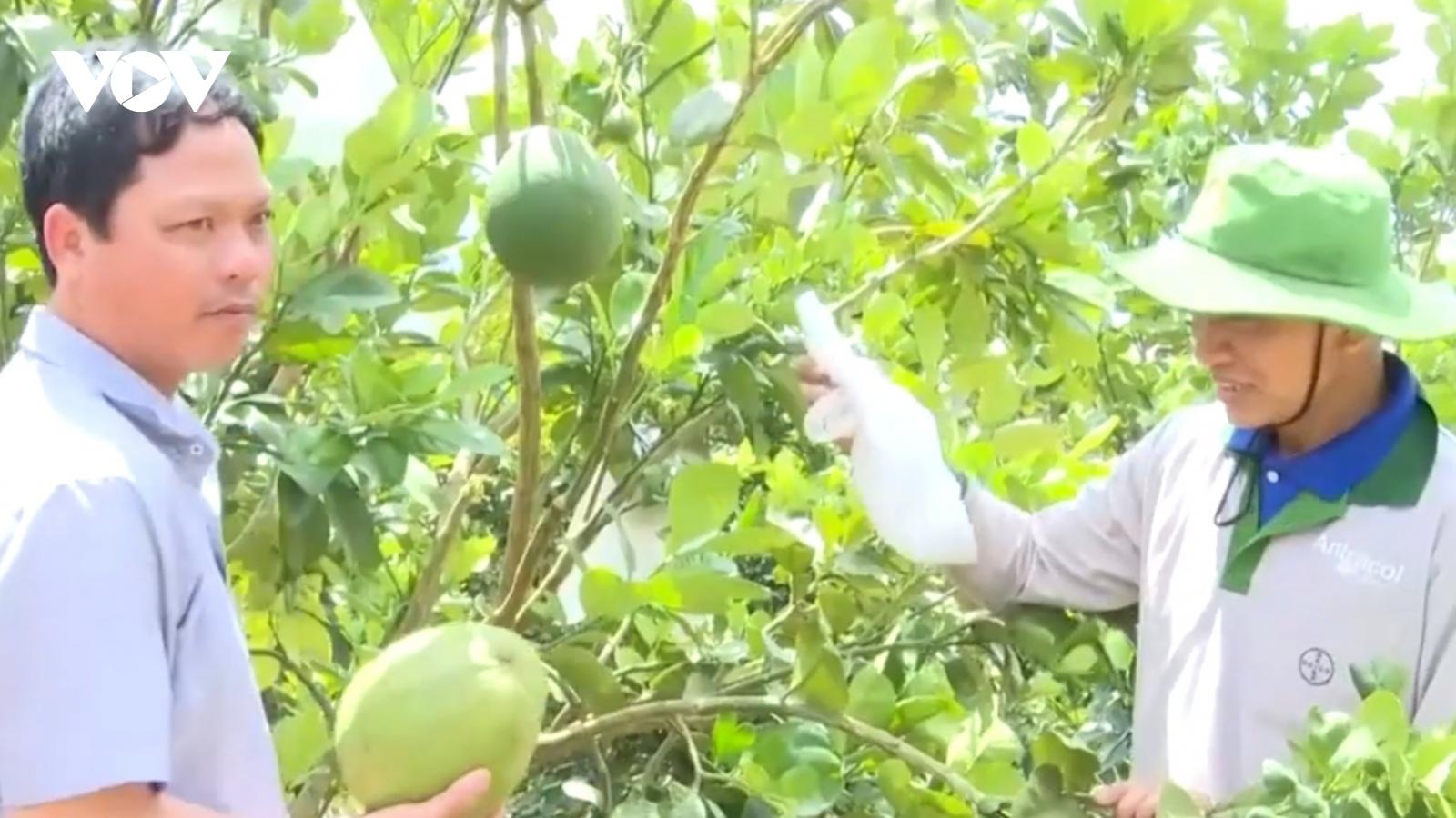 Thủ phủ hồ tiêu Chư Pưh chuyển đổi sang mô hình trồng cây ăn trái