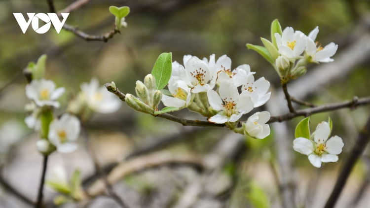 White Son Tra flowers spotted in full bloom on Pha Din peak