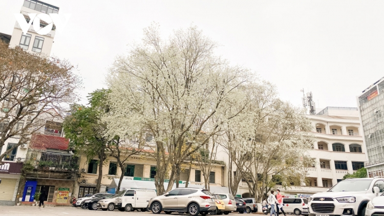 Blossoming Hoa Sua flowers beautify Hanoi during spring months