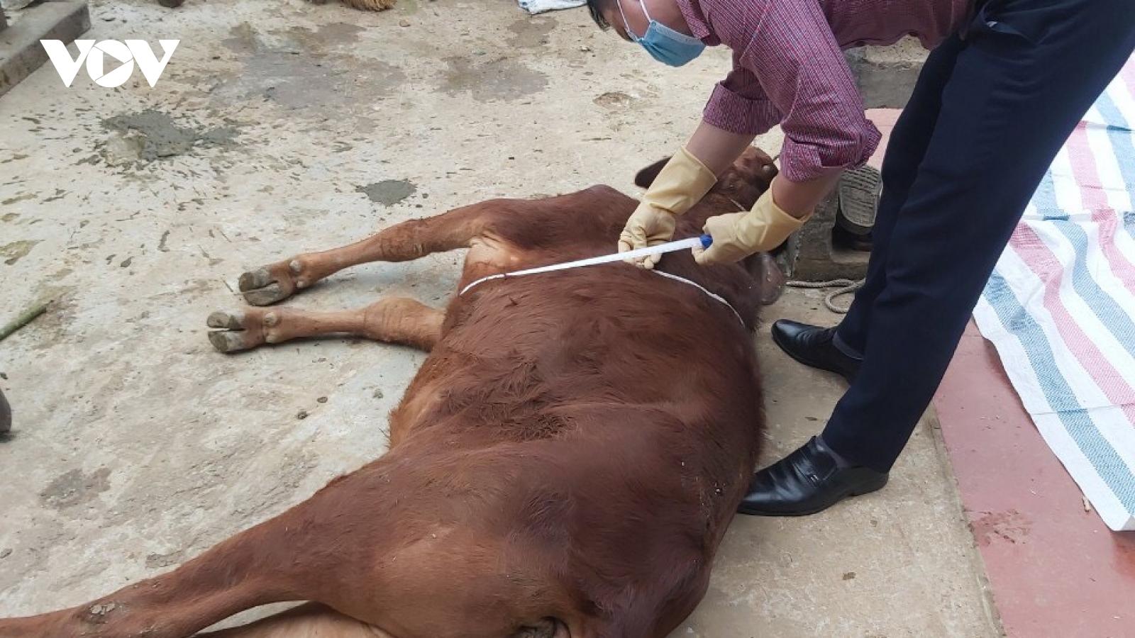 Sơn La tập trung khoanh vùng dập dịch bệnh viêm da nổi cục ở trâu, bò