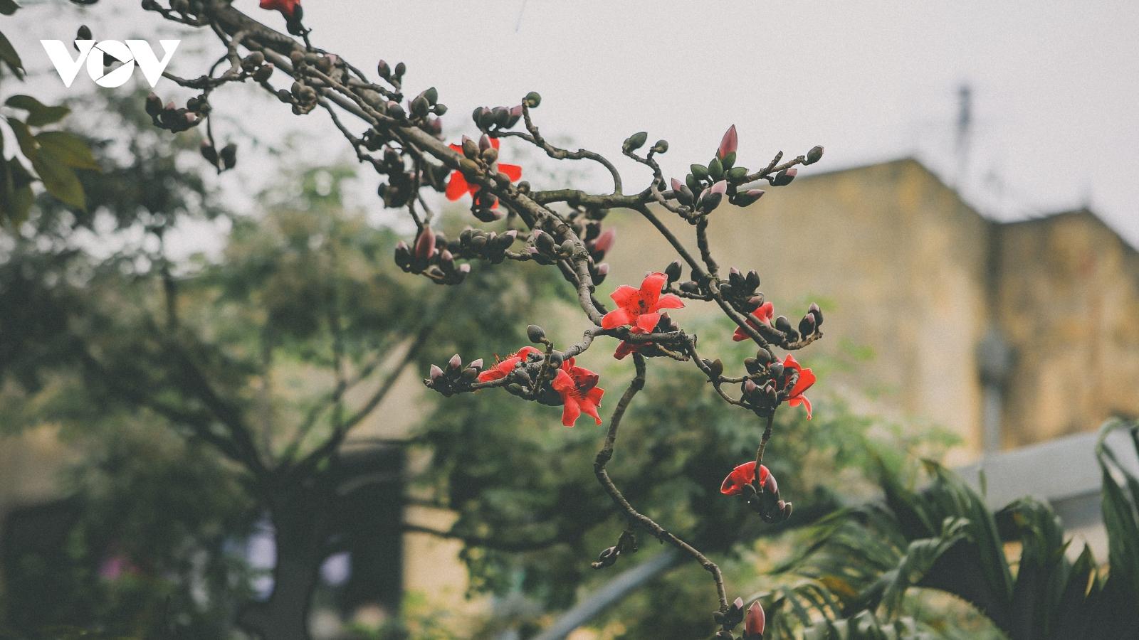 Tháng 3 Hà Nội rực rỡ mùa mộc miên thắp lửa