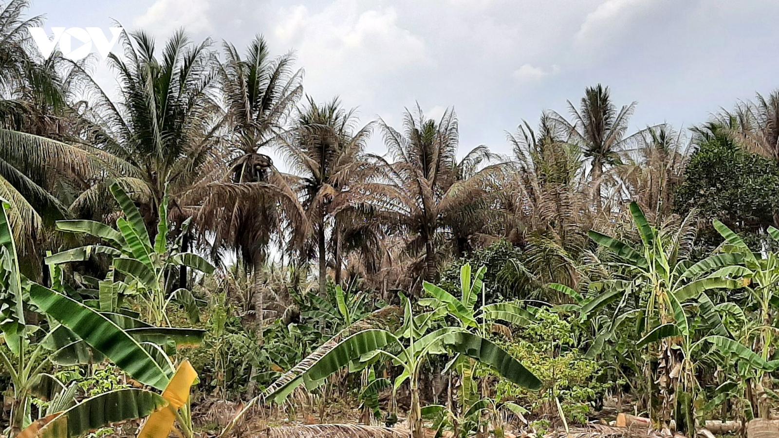 Sâu đầu đen tấn công vườn dừa khiến nhà vườn Bến Tre khốn đốn
