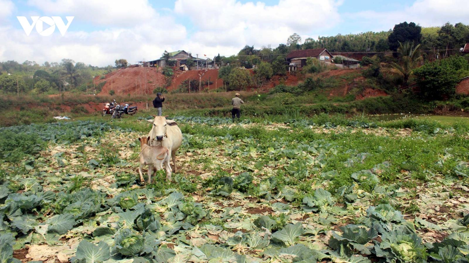 Rau bán không ai mua, nhà vườn Đắk Song (Đắk Nông) ồ ạt bỏ vườn