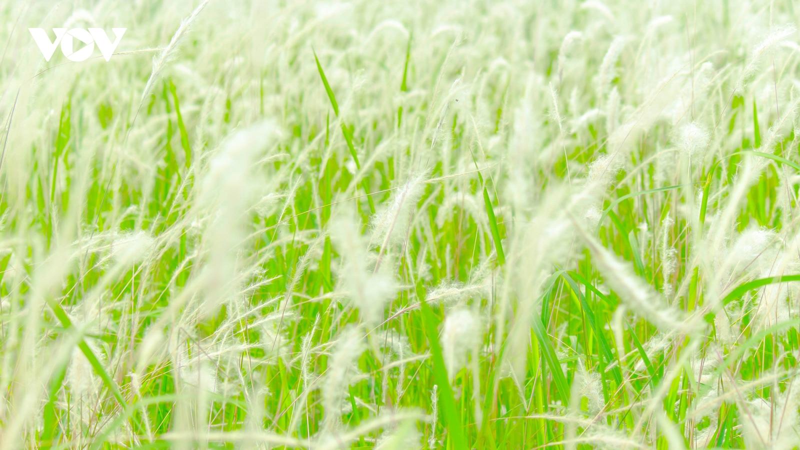 Chìm đắm trong sắc trắng tinh khôi của hoa cỏ lau giữa Hà Nội