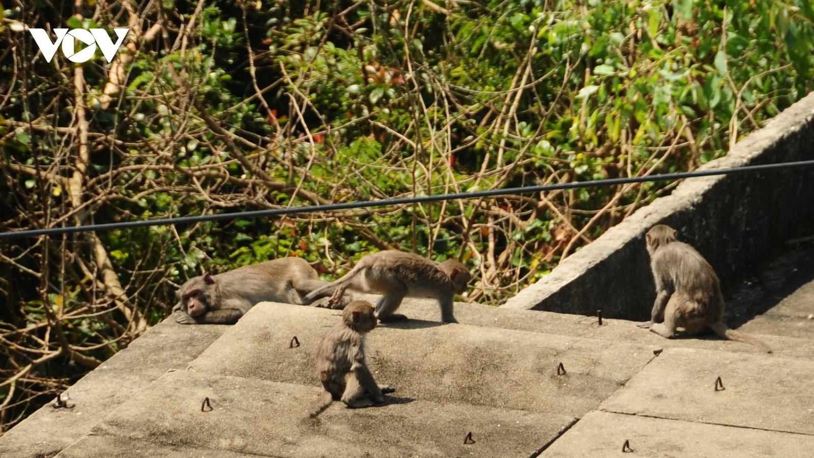 """Khỉ """"đại náo"""" ở Cù Lao Chàm khiến người dân gặp phiền toái"""