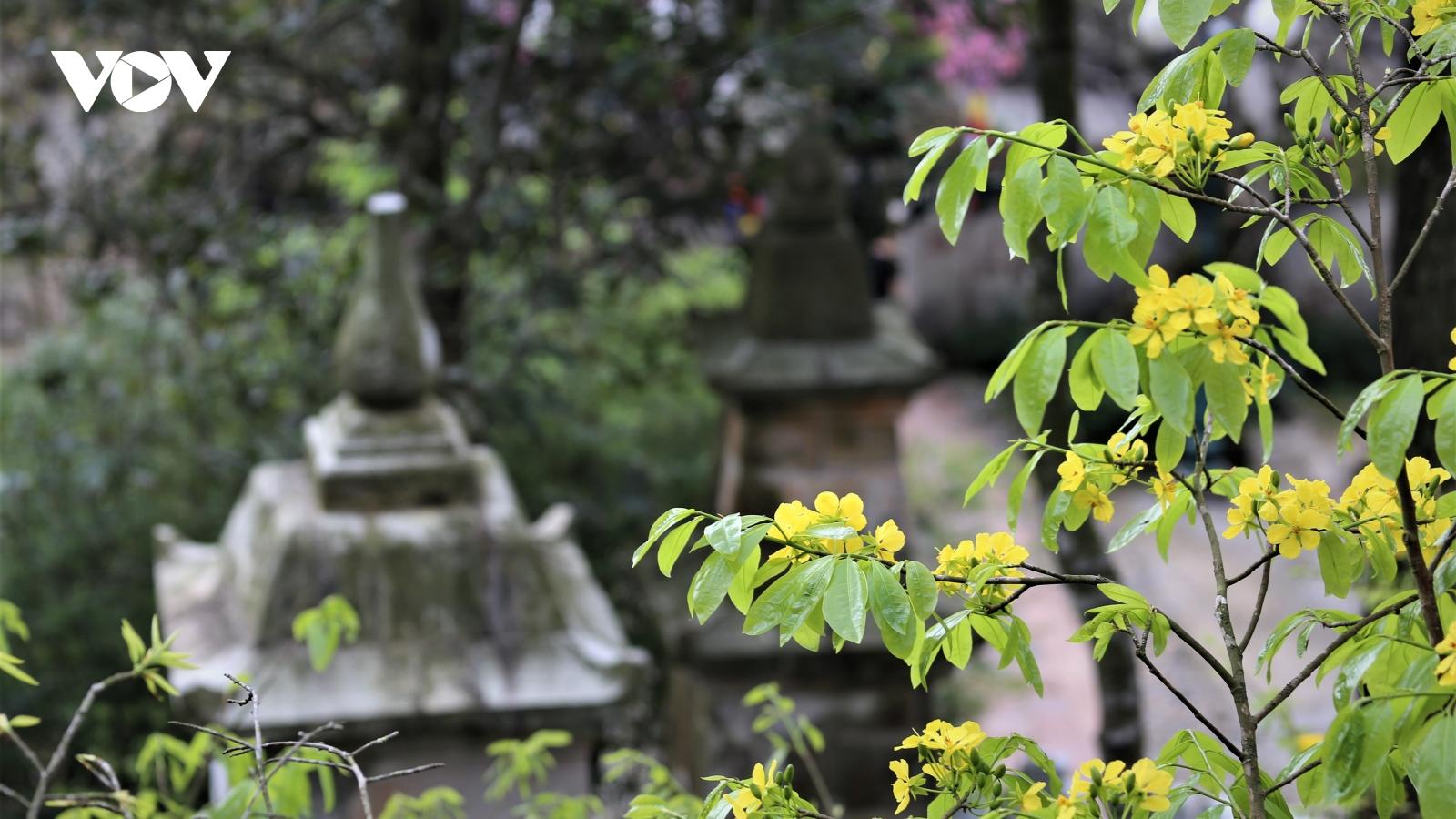Mùa xuân lên núi thiêng, ngắm mai vàng Yên Tử