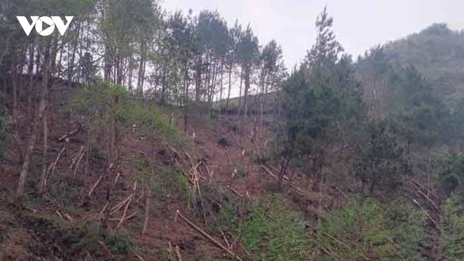 Mưa lốc ở Lai Châu làm tốc mái nhà, hàng trăm cây thông 20 năm tuổi gãy đổ