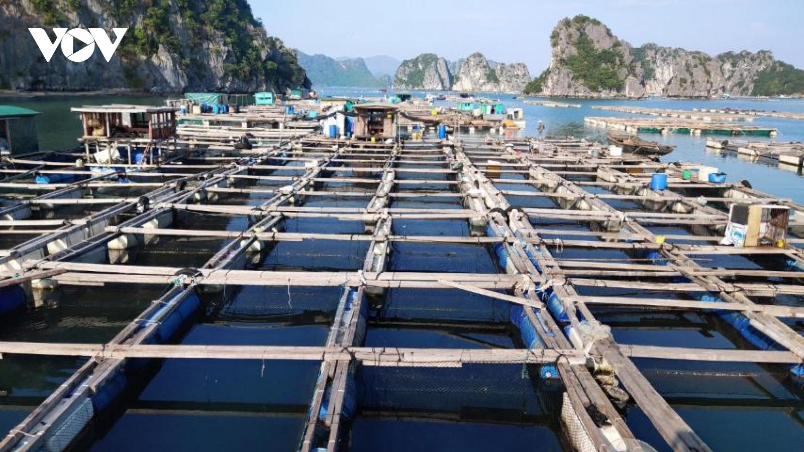 Ngao hai cùi ở Quảng Ninh rớt giá khiến người nuôi lao đao