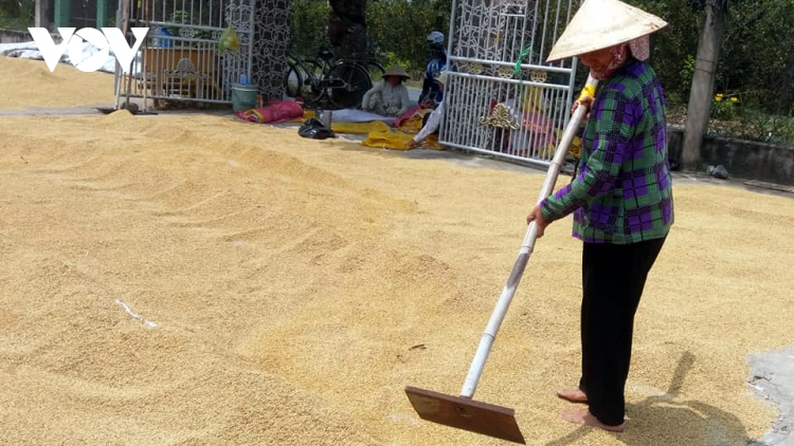 Lúa Đông Xuân trúng mùa tăng giá, nhà nông Tiền Giang có lãi