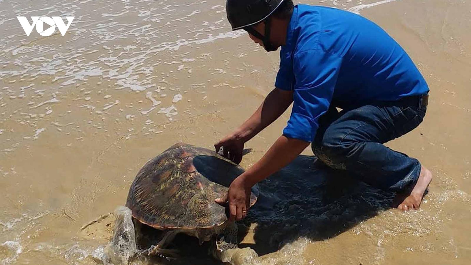 Thả một cá thể rùa biển quý hiếm về biển